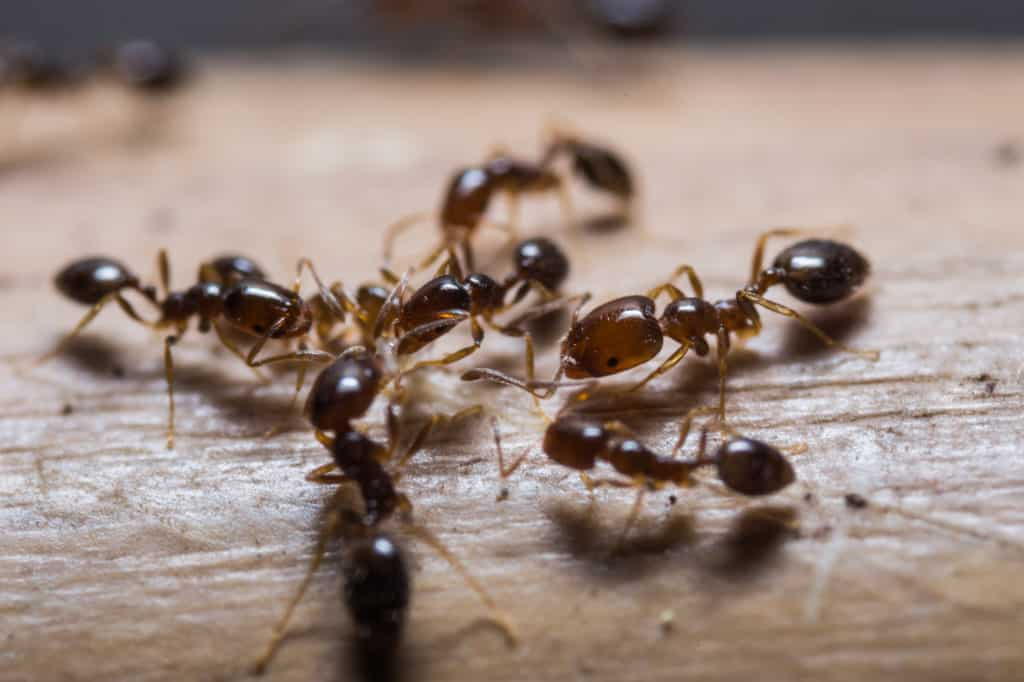 Close up of red imported fire ants (Solenopsis invicta) or simply RIFA