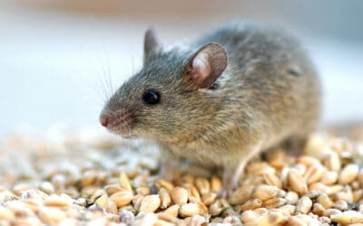 5 Ways to Keep Rodents Out of Your Home