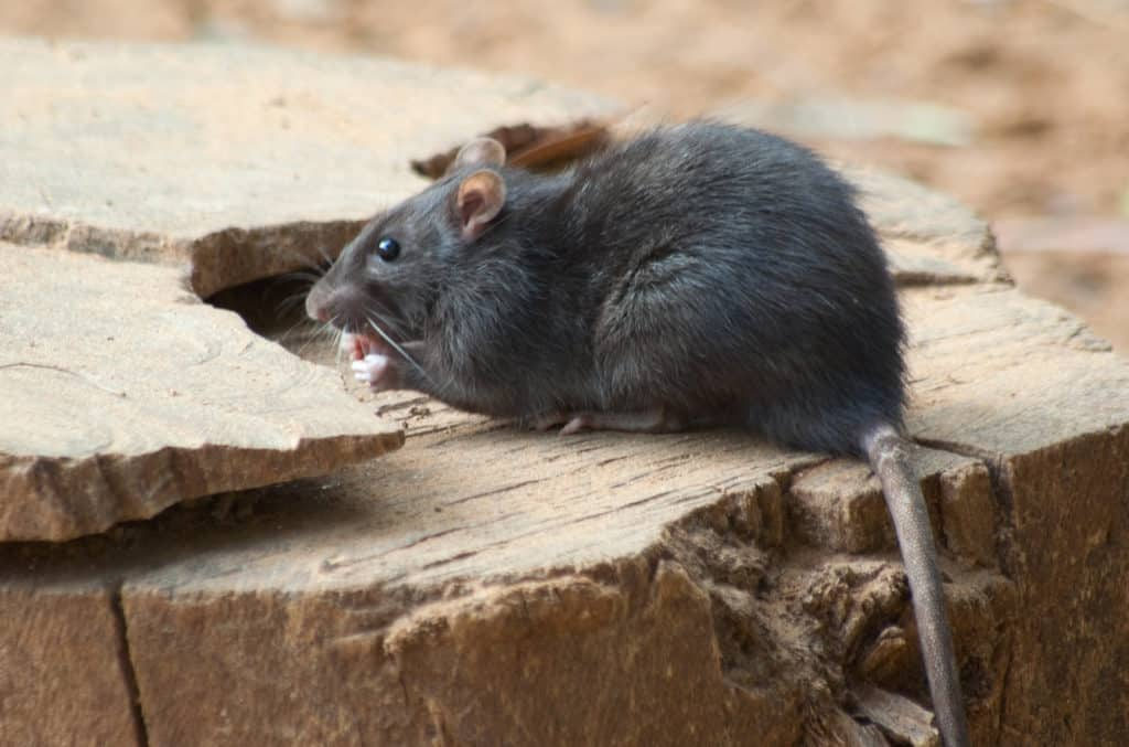 A rat eating on wooden board.